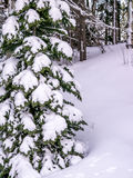 Snow laden evergreen tree with copy space. Evergreen tree with heavy snow cover Royalty Free Stock Photo