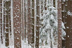 Snow Laden Forest. Winter red and white pine forest flocked with fresh snow Yankee Springs State Park, Michigan, USA Stock Photos
