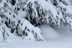 Snow laden pine tree in winter. Heavily snow laden evergreen tree in winter Royalty Free Stock Photo