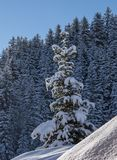 Snow laden tree. S in sunshine Stock Photography