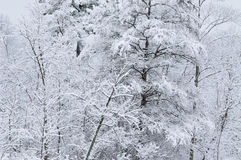 Snow Laden Trees. Winter forest with fresh snow, Yankee Springs State Park, Michigan, USA Stock Photo