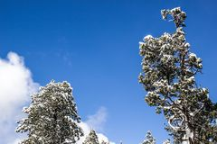 Snow Laden Trees On Clear Day. Heavy Snow Laden Trees On A Clear Day With Blue Sky Background Stock Image