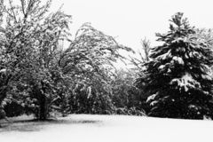 Snow-laden trees in winter. Trees heavily weighed down by snow on a hillside in the wintertime Stock Photos