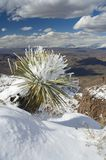 Snow laden Yucca stock images
