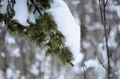 Snow landing on pine tree branch in winter. Closeup photo Stock Photography