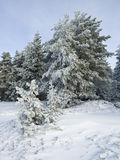 Snow Landscape. Winter landscape with some trees covered by the snow Stock Image