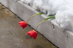 Flowering tulips were under the snow cover. Snow in late spring. Flowering tulips were under the snow cover Royalty Free Stock Photo