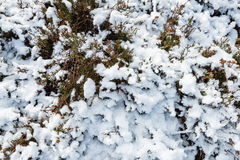 Snow layer on heather from close Royalty Free Stock Photo