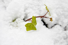 Snow on leaf Royalty Free Stock Images