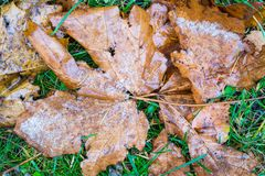 Snow on an leaf of a maple and green grass Royalty Free Stock Photography