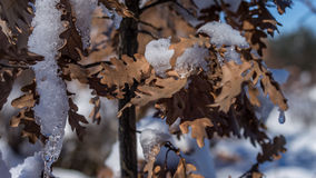 Snow on leafs. Winter is here and has bring a nice white cover not only for the fields but for the trees in the forest too. The only sunny day after almost two Stock Image