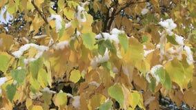 Snow on leaves stock video footage