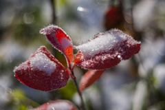Snow on the leaves Stock Photo