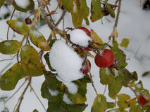 Snow on leaves of wild rose Stock Images
