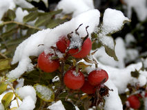Snow on leaves of wild rose Stock Photos