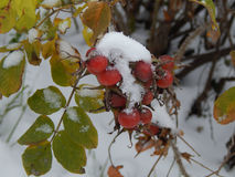 Snow on leaves of wild rose Royalty Free Stock Photo