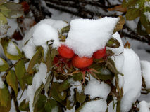 Snow on leaves of wild rose Stock Image