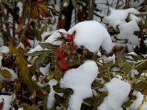 Snow on leaves of wild rose closeup Stock Photos