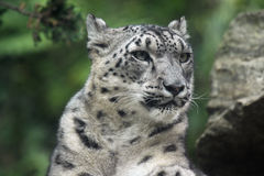 Snow Leopard. Closeup of a Snow Leopard against a blurred background Royalty Free Stock Photo