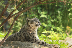 Snow Leopard,. Snow Leopard posing on a rock Stock Photography