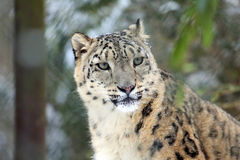 Snow-Leopard. One Snow-Leopard in closeup Stock Images