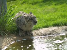 Snow Leopard. By the water Stock Images