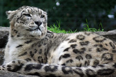 Snow Leopard. Endangered species Snow Leopard lying down stock images