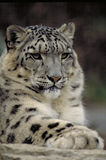 Snow leopard. Taken at toronto zoo quite a few years ago royalty free stock image