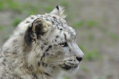 Snow Leopard. Detail portrait of a  Snow Leopard in the profile Stock Photos