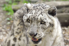 Snow Leopard. Head in detail Royalty Free Stock Photo