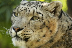 Snow Leopard. Cloase-up image of a Snow Leopard head Royalty Free Stock Photo