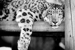Snow Leopard. An adult Snow Leopard lazing around on a wooden platform Royalty Free Stock Photography