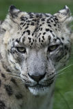 Snow leopard. Face close up Stock Photography