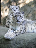 Snow leopard. (Uncia uncia) at Jihlava Zoo in Eastern Bohemia, Czech Republic royalty free stock photo