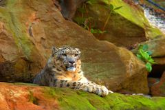 Snow Leopard. A Snow Leopard perched on a mossy rock stock photography