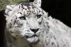 Free Snow Leopard Stock Photo - 16670900