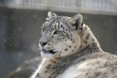 Snow leopard. A male snow leopard sits in the falling Royalty Free Stock Images