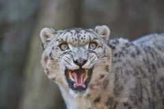 Snow leopard. Is roaring to something royalty free stock image