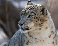 Snow leopard. Portrait of a snow leopard Royalty Free Stock Photo