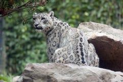 Snow Leopard Royalty Free Stock Photos