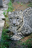A snow leopard. An ounce or the snow leopard chewing a green grass Stock Photos