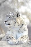 Snow leopard 2 Royalty Free Stock Image