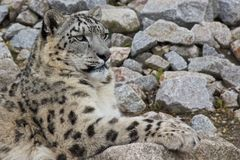 Snow Leopard 2. Beautiful snow leopard sitting on sharp rocks looking into the distance Royalty Free Stock Photo