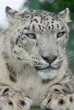 Snow Leopard 2. Portrait of a Snow Leopard looking to the front Stock Photography