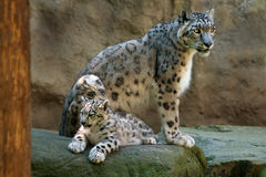 Free Snow Leopard Stock Images - 20814784