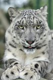 Snow Leopard. Portrait of a Snow Leopard Stock Photography