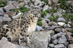 Snow Leopard. Panthera uncia - closeup stock photos