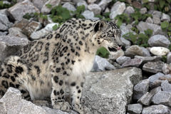 Snow Leopard. Panthera uncia - closeup stock image