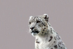 Snow leopard. A young male snow leopard Royalty Free Stock Photography