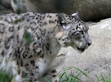 Snow Leopard Stock Images